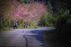 Chiangmai Таиланд - january9,2016: неопознанный турист принимая фото с зацветая цветком вишневого цвета в angkhang doi стоковое изображение rf