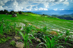 Chiangmai稻田 免版税库存照片