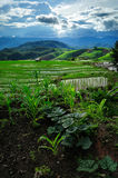 Chiangmai Paddy Field Stockbilder