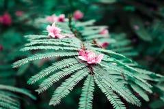 Chiangmai Sakura Pink in bos royalty-vrije stock fotografie