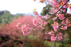 Chiangmai Sakura Pink royalty free stock image