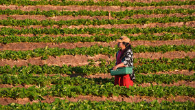 CHIANGMAI TAILÂNDIA - 24 DE DEZEMBRO: fazendeiro das morangos que colhe o org Fotografia de Stock