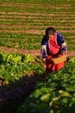 CHIANGMAI TAILÂNDIA - 24 DE DEZEMBRO: fazendeiro das morangos que colhe o org Fotografia de Stock Royalty Free