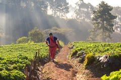 CHIANGMAI TAILÂNDIA - 24 DE DEZEMBRO: fazendeiro das morangos que colhe o org Imagens de Stock Royalty Free