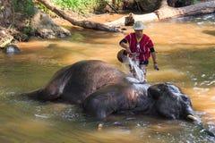Chiangmai, Tailandia - 16 novembre: il mahout prende un elefante del bagno Fotografia Stock Libera da Diritti