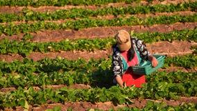 CHIANGMAI THAILAND - 24 DEC: aardbeienlandbouwer die org oogsten Stock Afbeelding