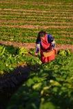 CHIANGMAI THAILAND - 24 DEC: aardbeienlandbouwer die org oogsten Royalty-vrije Stock Foto