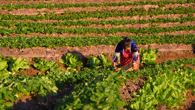 CHIANGMAI THAILAND - 24 DEC: aardbeienlandbouwer die org oogsten Royalty-vrije Stock Foto's