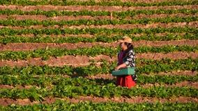 CHIANGMAI THAILAND - 24 DEC: aardbeienlandbouwer die org oogsten Stock Fotografie