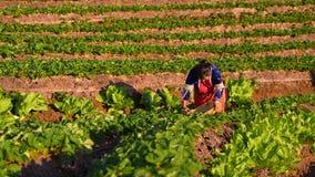 CHIANGMAI THAILAND - 24. DEZEMBER: Erdbeerlandwirt, der org erntet Lizenzfreie Stockfotos
