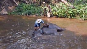 Chiangmai Thailand - 24. M?rz 2019: Elefanten, die ein Bad mit Mahout im Fluss, in Chiang Mai Thailand nehmen stock video