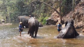 Chiangmai Thailand - March 24, 2019: Elephants taking a bath with mahout in river, in Chiang Mai Thailand.  stock video footage