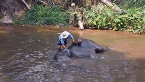 Chiangmai Thailand - March 24, 2019: Elephants taking a bath with mahout in river, in Chiang Mai Thailand. stock video