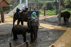 Chiangmai,Thailand - March 31, 2016 : Mahout and elephant show how the lives at Pang Mae Tang. royalty free stock photography