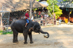 Chiangmai ,Thailand - November 16 : elephant catch football and Royalty Free Stock Images
