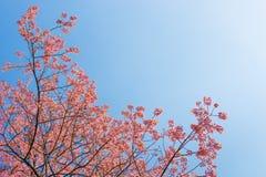 Chiangmai Thailand wild himalayan cherry prunus cerasoides like Stock Photography