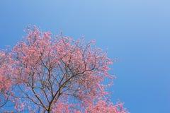 Chiangmai Thailand wild himalayan cherry prunus cerasoides like Stock Image