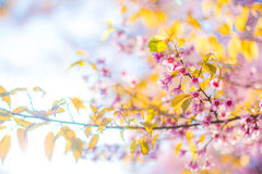 Chiangmai Thailand wild himalayan cherry prunus cerasoides like Stock Images