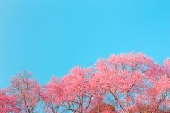 Chiangmai Thailand wild himalayan cherry prunus cerasoides like Stock Photo
