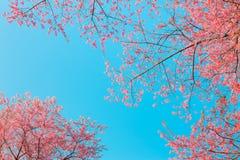 Chiangmai Thailand wild himalayan cherry prunus cerasoides like Royalty Free Stock Photography