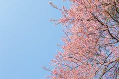 Chiangmai Thailand wild himalayan cherry prunus cerasoides like Royalty Free Stock Photos