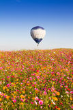 CHIANGRAI, THAILAND - NOV 29 2015 : Hot air balloon over pink flower cosmos farm festival in Chiangrai, Thailand. Stock Photos