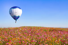 CHIANGRAI, THAILAND - NOV 29 2015 : Hot air balloon over pink flower cosmos farm festival in Chiangrai, Thailand. Royalty Free Stock Photo
