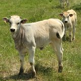 Chianina calves Royalty Free Stock Photos
