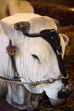 Chianina cow's head with harness Royalty Free Stock Image