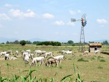 Chianina cows in tuscan countryside. Italy Stock Image