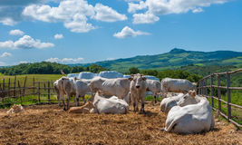 Chianina cows in Tuscany, providers of Florentine steak Stock Image