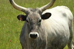 chianina zbliżenia krowa zdjęcie stock