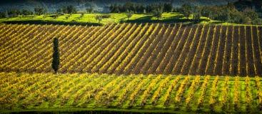 Chianti葡萄园在托斯卡纳,意大利 免版税库存照片