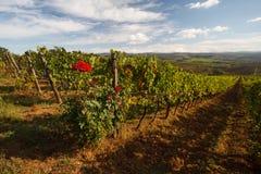 Chianti葡萄园风景在与玫瑰的秋天 库存照片