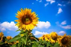 chianti backgroun pola San gimignano słoneczników piękne miasto Toskanii Obraz Royalty Free