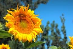 chianti backgroun pola San gimignano słoneczników piękne miasto Toskanii Fotografia Royalty Free