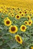 chianti backgroun pola San gimignano słoneczników piękne miasto Toskanii Zdjęcie Royalty Free