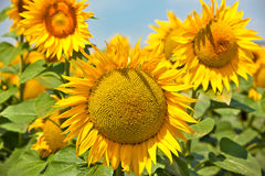 chianti backgroun pola San gimignano słoneczników piękne miasto Toskanii Obraz Stock