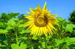 chianti backgroun pola San gimignano słoneczników piękne miasto Toskanii Zdjęcia Stock