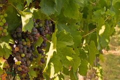Chianti classico detail grapes. Typical grapes in  chianti shine Stock Images