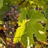 Chianti classico grapes Royalty Free Stock Images