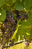 Chianti classico grapes Royalty Free Stock Image