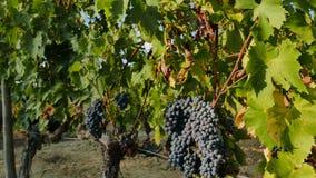 Chianti classico vineyard stock footage