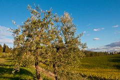 Chianti d'olivier images stock