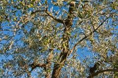 Chianti d'olivier photos stock