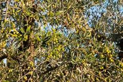 Chianti da oliveira imagens de stock