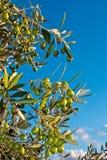 Chianti da oliveira foto de stock royalty free