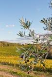 Chianti da oliveira imagem de stock