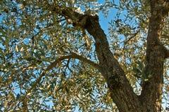 Chianti da oliveira fotografia de stock
