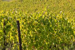 Chianti de vignoble photo stock